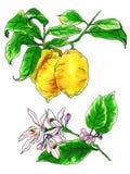 Декоративные тропические цветки цитруса лимона в цветении Стоковая Фотография