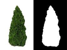 Декоративный вечнозеленый куст 2 Стоковые Фотографии RF