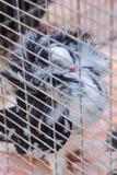Декоративный голубь в клетке Стоковые Изображения RF