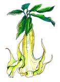 Декоративный желтый Brugmansia цветка дурмана в цветении Ботаническая иллюстрация Стоковое Фото