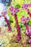 Декоративный завод сада роза камня (Sempervivum) Стоковые Изображения RF