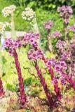Декоративный завод сада роза камня (Sempervivum) Стоковые Изображения