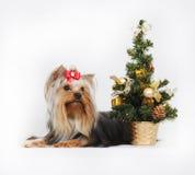 Декоративный йоркширский терьер собаки, рождество Стоковые Фотографии RF