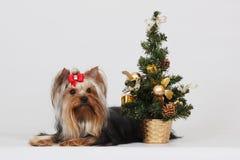 Декоративный йоркширский терьер собаки, рождество Стоковая Фотография RF