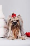 Декоративный йоркширский терьер собаки Стоковая Фотография RF