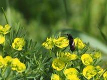 Декоративный молочай травы с желтыми цветками и жуком стоковые изображения rf