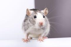 Декоративный серебряный конец-вверх крысы стоковая фотография rf