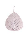 декоративный скелет листьев Стоковое Изображение RF