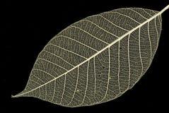 декоративный скелет листьев Стоковые Изображения