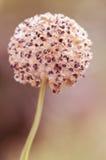 Декоративный лук сада кровопролитное Красивейшая предпосылка Селективный фокус стоковая фотография rf