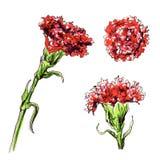 Декоративный цветок гвоздики Стоковое Фото