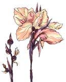 Декоративный цветок радужки Стоковые Фотографии RF