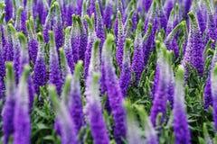 Декоративный люпин цветет, фиолетовые голубые цвета, конец вверх Стоковые Изображения RF