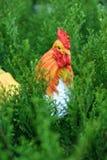 Figurine курицы в кустах arborvitae Стоковое фото RF
