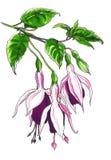 Декоративный fuchsia цветок Стоковое фото RF