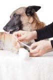 Делать повязку лапки. Скорая помощь на собаке. Стоковое Фото