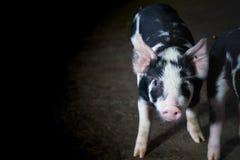 Дело сельского хозяйства свинeй внутри ослабляет время стоковое изображение