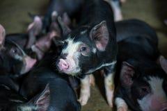 Дело сельского хозяйства свинeй внутри ослабляет время стоковые фото