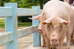Дело фермы свинeй в традиционном стиле стоковые фото