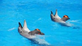 2 дельфина в бассейне играя с шариками Стоковые Изображения