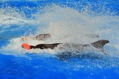 2 дельфина в бассейне с водой брызгают Стоковые Изображения