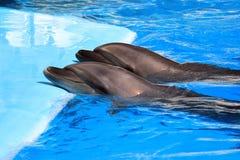 2 дельфина в бассейне Стоковые Изображения