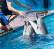 2 дельфина в бассейне Стоковое Фото