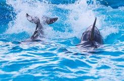 2 дельфина в бассейне Стоковое фото RF