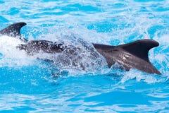 2 дельфина в бассейне Стоковое Изображение