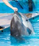 2 дельфина в бассейне Стоковые Фото