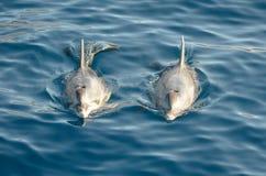 2 дельфина в море Стоковое Изображение