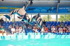 2 дельфина скача из воды во время представления в аквариуме против фона аудитории Стоковое фото RF