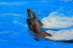 2 дельфина с кольцами в бассейне Стоковое Изображение