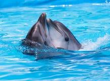2 дельфина танцуя в бассейне Стоковые Фото
