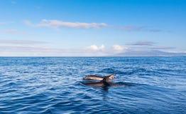 дельфины Азорских островов стоковые изображения rf