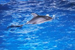 Дельфины в океане Дельфины при поцарапанное назад Охотиться для дельфинов Охрана животных Стоковое фото RF