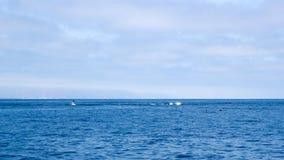 Дельфины около побережья Вентуры, Калифорнии Стоковое Изображение RF