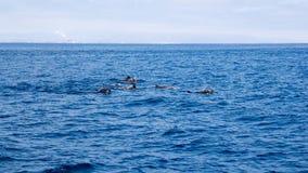 Дельфины около побережья Вентуры, Калифорнии Стоковое Изображение