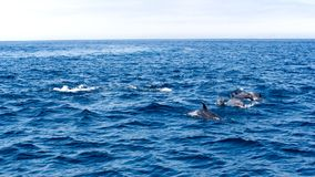 Дельфины около побережья Вентуры, Калифорнии Стоковая Фотография RF