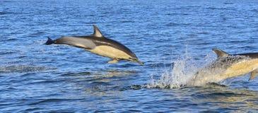 Дельфины, плавая в океане Стоковое фото RF
