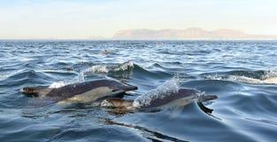 Дельфины, плавая в океане Стоковое Изображение RF