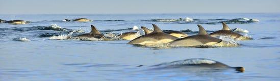 Дельфины, плавая в океане Стоковая Фотография RF