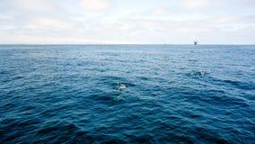 Дельфины приближают к островам канала, Калифорнии Стоковые Фото
