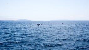 Дельфины приближают к островам каналов, Калифорнии Стоковая Фотография RF
