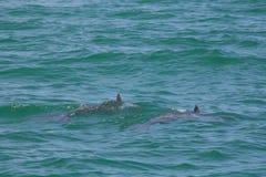 Дельфины Флориды Стоковые Фото