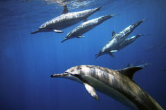 дельфины Стоковые Фотографии RF
