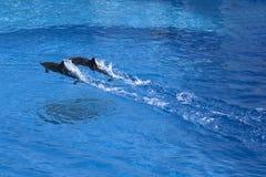 дельфины Стоковая Фотография