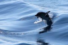 дельфины Стоковое Изображение RF