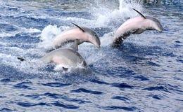дельфины стоковые изображения