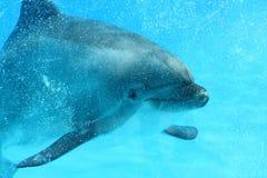 Дельфин брызгая в воде Стоковая Фотография RF